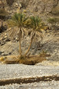Palm trees in an arid Wadi Stock Photography