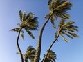 Palm trees blowing in wind. Royalty Free Stock Photo