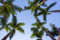 Palm trees at blue sky Royalty Free Stock Photo