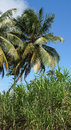Palm Trees And Cane, Guadeloup...