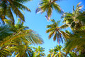 Palm trees coconut against blue sky Stock Images