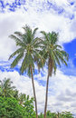 Palm trees with coconut and blue sky under Stock Photo