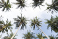 Palm trees with coconut under blue sky koh phagnan island in thailand Stock Photography