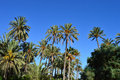 Palm trees in elche and a blue sky the world heritage site of near alicante spain Royalty Free Stock Photo