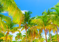 Palm trees forest beautiful fresh green tree on blue sky background luxury tropical resort panoramic landscape paradise beach Royalty Free Stock Images