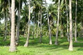 Palm trees forest koh pangan thailand Royalty Free Stock Photos