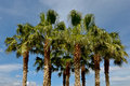 Palm trees a group of with blue sky in background Royalty Free Stock Photos