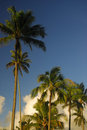 Palm trees in Hawaii Royalty Free Stock Photo