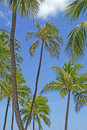 Palm trees looking up at a group of Stock Photography