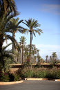 Palm trees in marrakech landcape of palms Royalty Free Stock Photo
