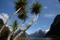 Palm trees in the Milford Sound Stock Images