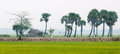 Palm trees on paddy rice field in southern Vietnam Royalty Free Stock Photo