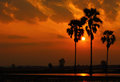 Palm trees rice field sunset Stock Photo