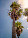 Palm trees in the wind. Royalty Free Stock Photo