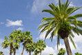 Palm tress under blue sky Stock Photos