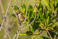 A palm warbler on a branch the setophaga palmarum is one of the most frequent birds in cuba in spite of it s simple plumage it is Royalty Free Stock Photos