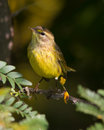 Palm warbler sitting on a branch Stock Photography