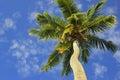 Palmas de coco Imagens de Stock Royalty Free