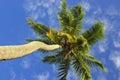 Palme di noce di cocco Fotografia Stock Libera da Diritti