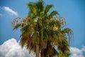 Palmetto tree set against a Carolina blue sky. Royalty Free Stock Photo