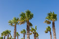 The palms against blue sky on windy day Royalty Free Stock Photography