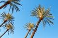 Palms on blue sky background Stock Photography