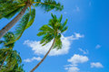 Palms on blue sky background tall palm trees tropical island philippines southeast asia Royalty Free Stock Image