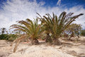 Palms in fuerteventura two canary islands spain Stock Image