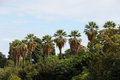 Palms in a row against the sky Royalty Free Stock Photo