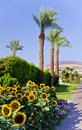 Palms and suflowers in Eilat, Israel Royalty Free Stock Image