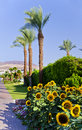 Palms and suflowers in Eilat, Israel Royalty Free Stock Images