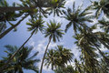 Palms under sky branches of coconut blue Royalty Free Stock Images