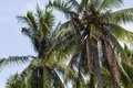 Palms under sky branches of coconut blue Royalty Free Stock Photography