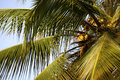 Palmträd med kokosnötter Royaltyfria Bilder
