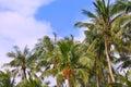 Palmtrees on sky background Royalty Free Stock Photo