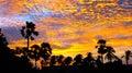 Palmyrah Palm trees at the Vivid Sky at the Sunset Royalty Free Stock Photo