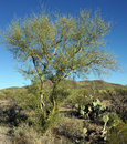 Palo verde tree leafless showing the smooth green bark the is the official state of arizona Royalty Free Stock Photography