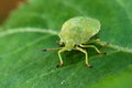 Palomena prasina beetle larva is pale green Stock Photography