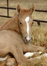 Palomino Foal Royalty Free Stock Photo