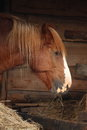 Palomino horse eating yellow hay Royalty Free Stock Photo