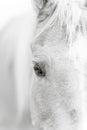Palomino horse eye - black and white Royalty Free Stock Photo
