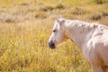 Palomino Horse Royalty Free Stock Photo