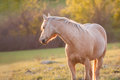 Palomino horse looking backwards Royalty Free Stock Photo