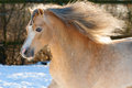 Palomino horse runs gallop in winter Stock Photography