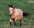 Palomino on the Move Stock Images