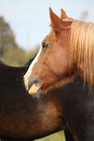 Palomino percheron portrait in autumn Stock Photo