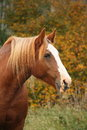 Palomino percheron portrait in autumn Royalty Free Stock Images