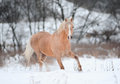 Palomino pony light stallion in winter Royalty Free Stock Image