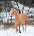 Palomino pony welsh stallion in winter Royalty Free Stock Image