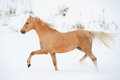 Palomino pony in a winter running Stock Photos